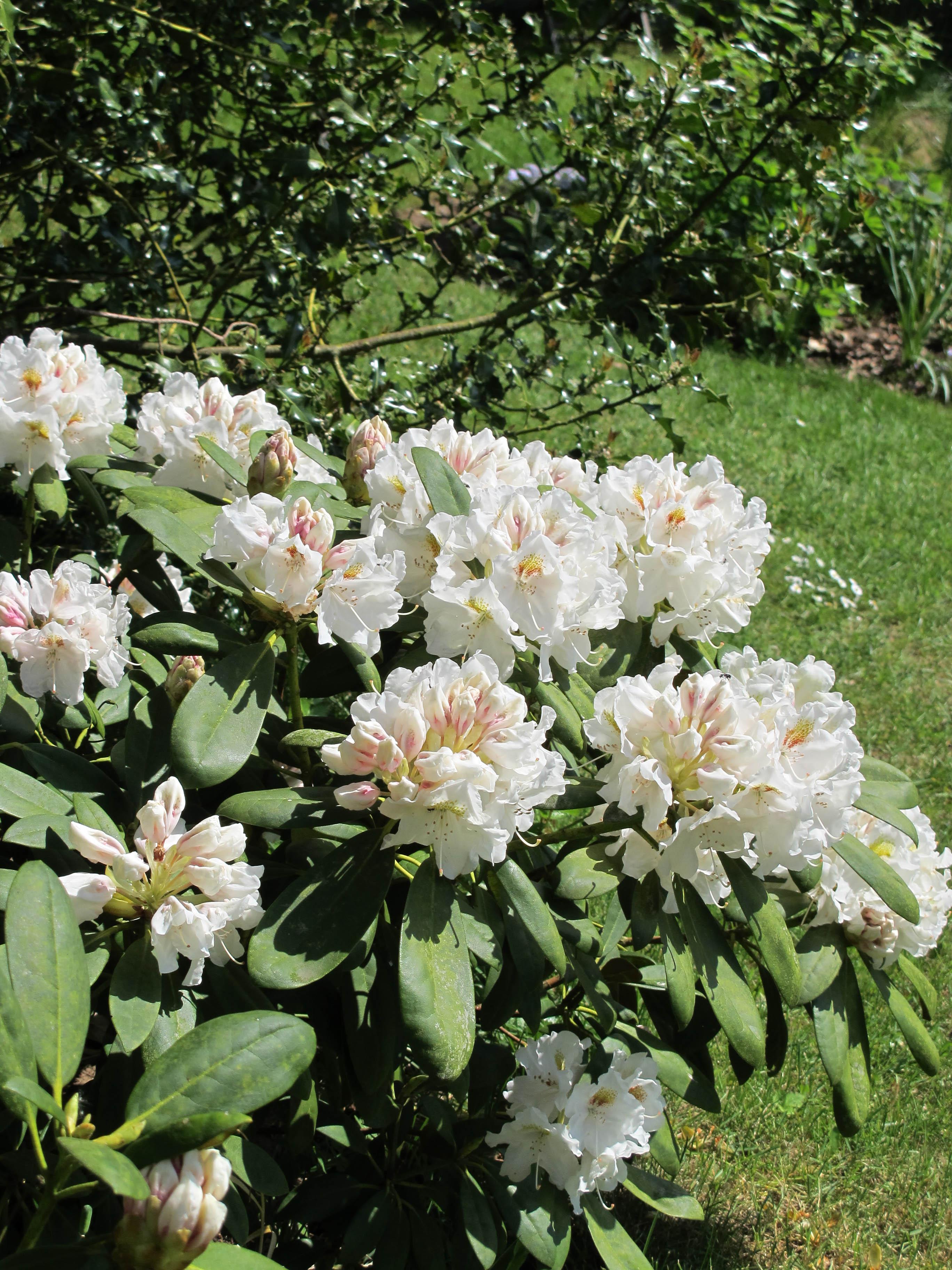 Flyttedag for tre rododendron – Helt hen i haven