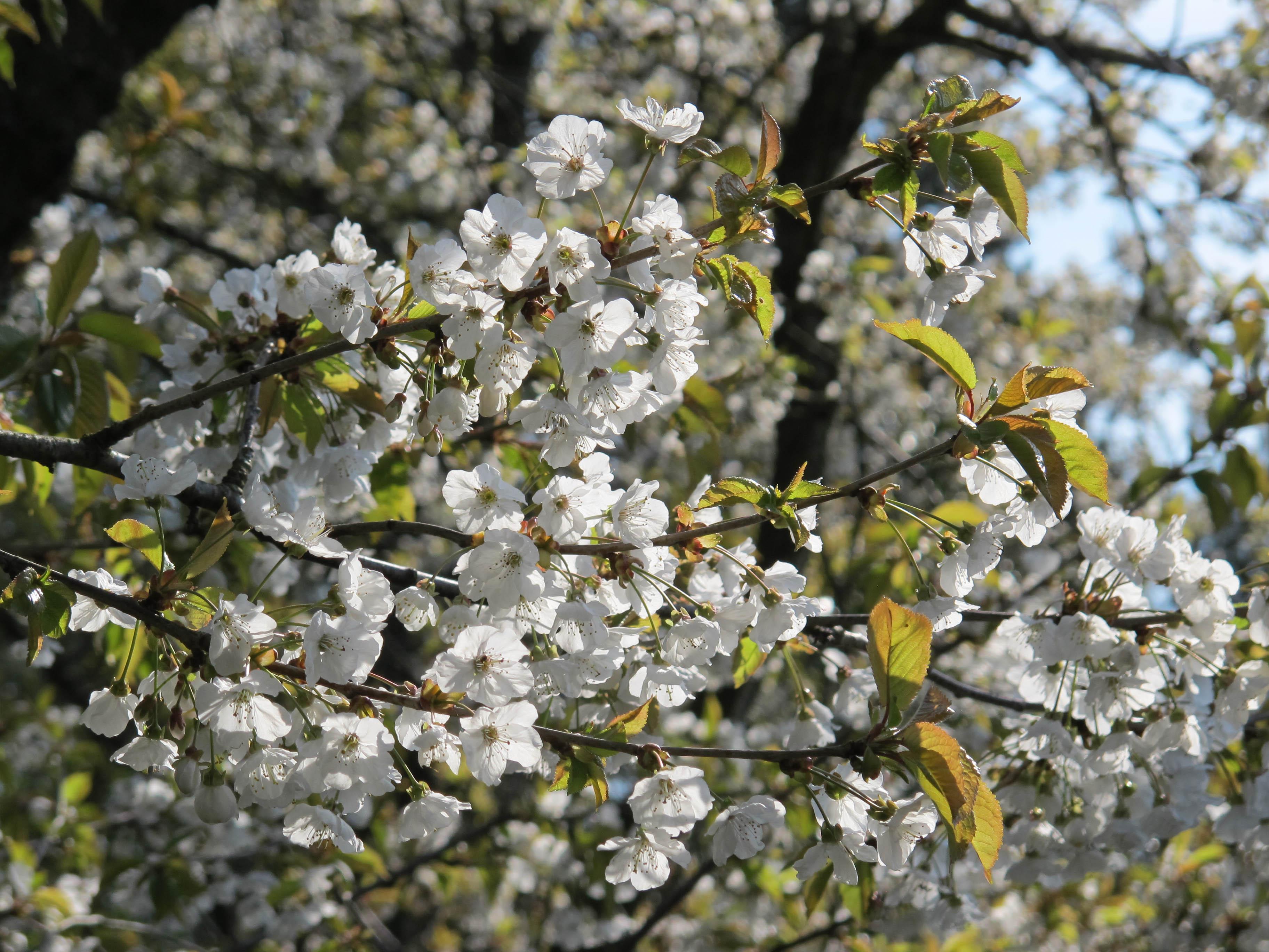 blomstrende træer i maj
