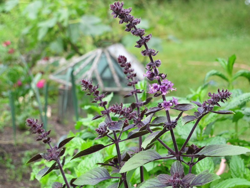 Krydderurter i blomsterbedet – helt hen i haven