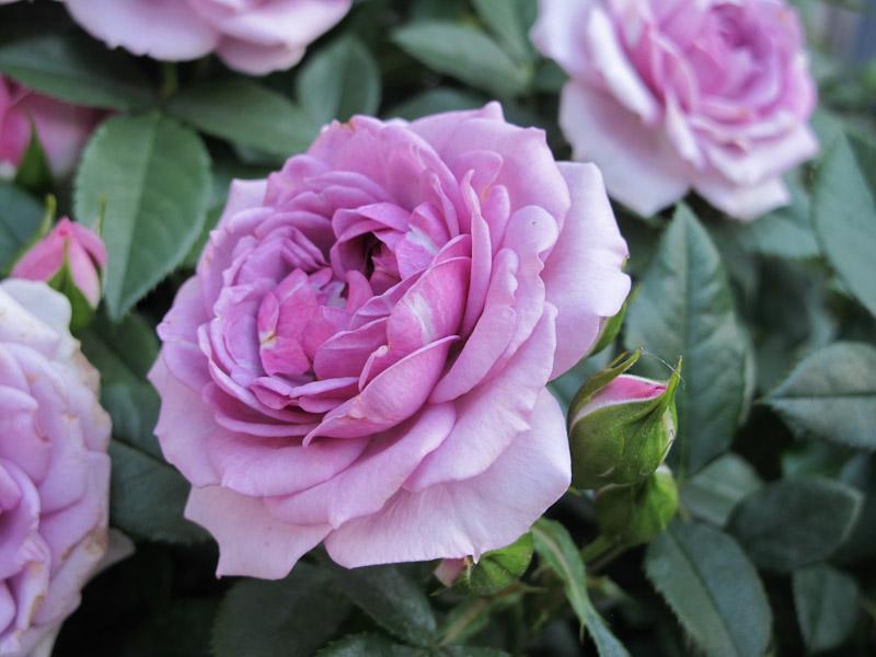 lilla roser til haven