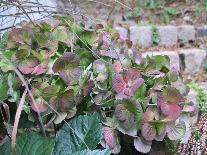 Hydrangea macrophylla-38