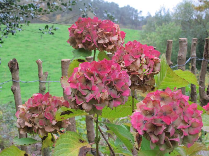 Hydrangea macrophylla-40