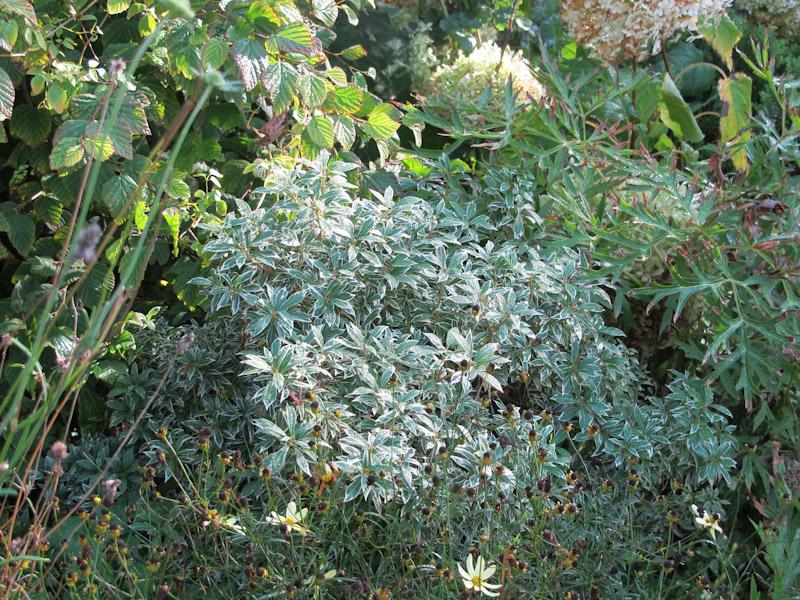 Pieris japonica-8