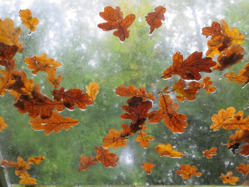Quercus-26