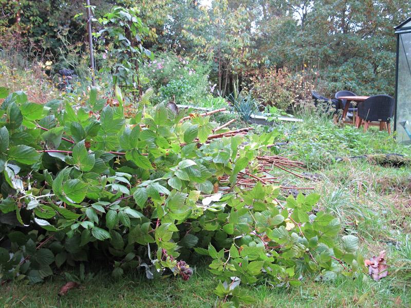 Rubus idaea-117