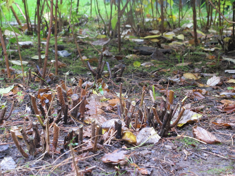 Rubus idaea-119