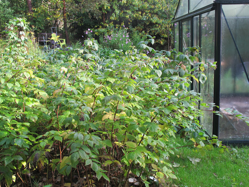 Rubus idaea-120