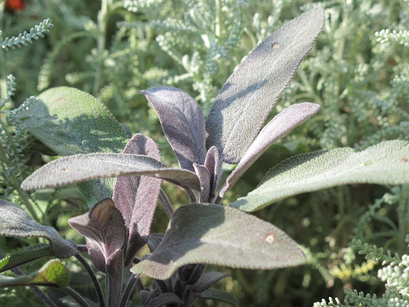 Salvia officinalis Purpurescens-2