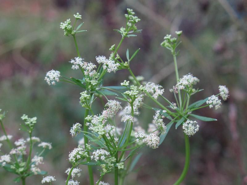 Apium graveolens dulce-4