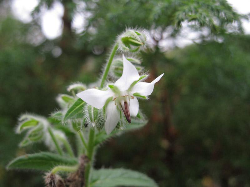 Borago officinalis Alba-1