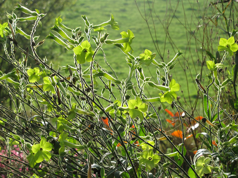 Nicotiana alata Lime Green-39