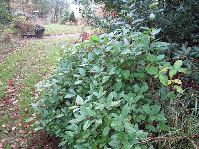 Viburnum tinus-15
