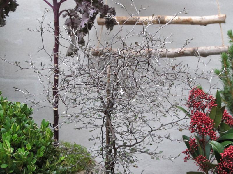 Corokia cotoneaster-5