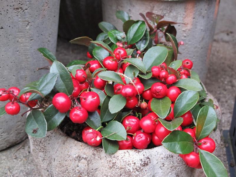 Gaultheria procumbens-1