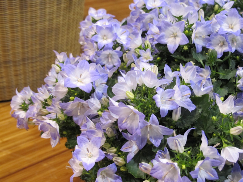 Campanula Fancy MEE-1