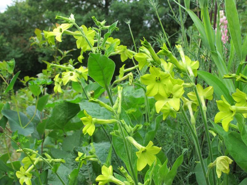 Nicotiana alata Lime Green-1