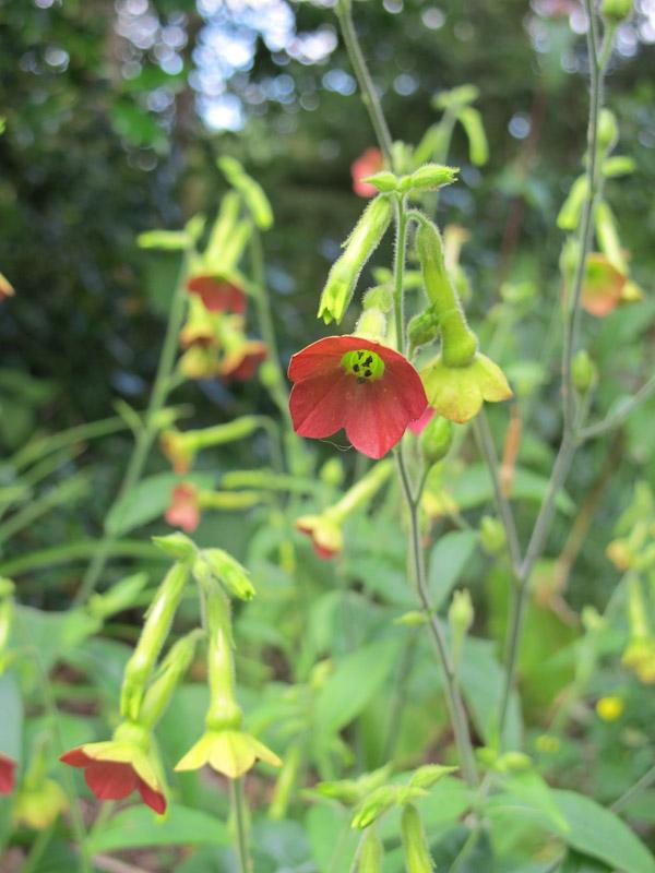 Nicotiana langsdorfii Tinkerbell-1
