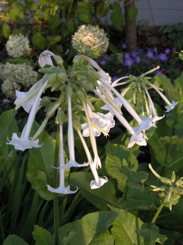 Nicotiana sylvestris-1
