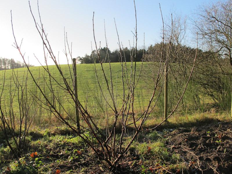 Ribes rubrum -149