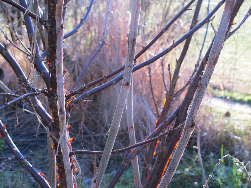 Ribes rubrum -154