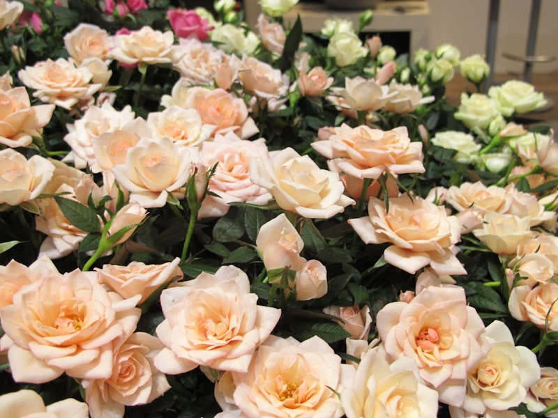 Rosa Rosaroma-1