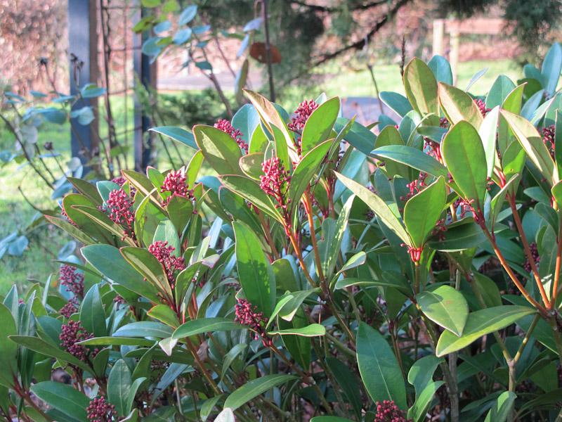 Skimmia japonica-30