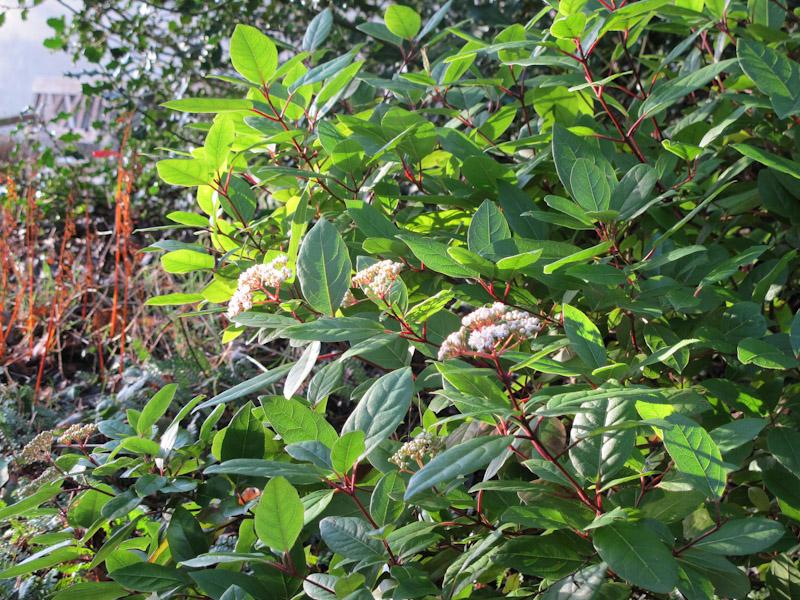 Viburnum tinus-30