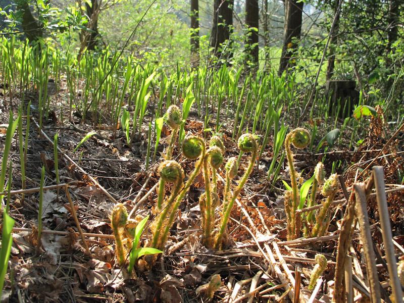 Dryopteris filix mas-1