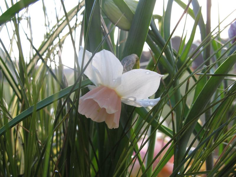 Narcissus Katie Heath-23