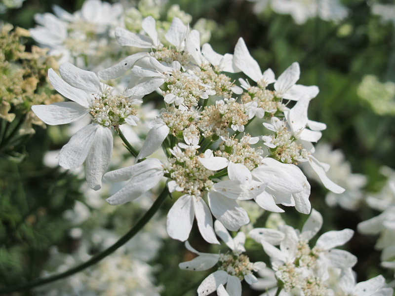 OrlayaGrandiflora-1