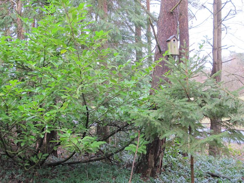 Prunus laurocerasus-38