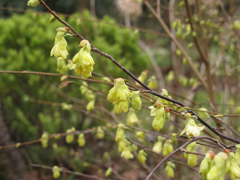 Corylopsis pauciflora-21
