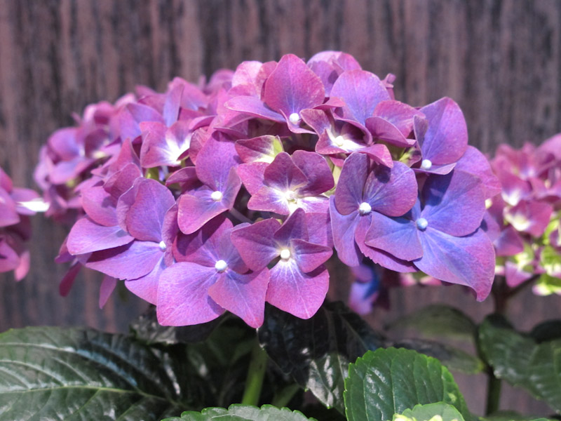 Hydrangea macrophylla Purple Romance-1