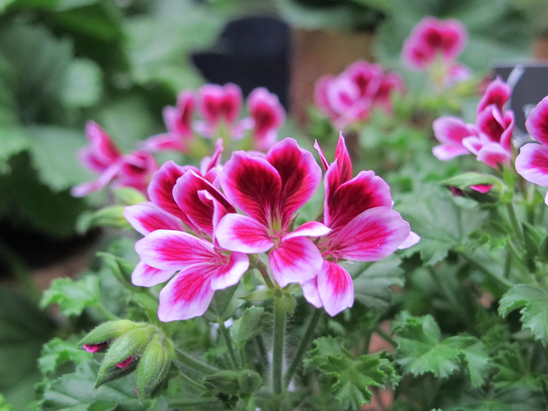 Pelargonium Petit Sweet Pink-1