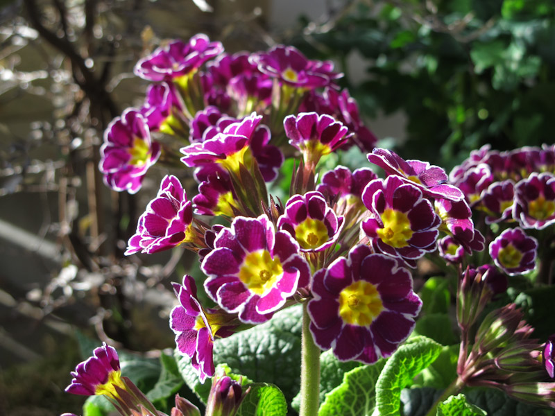 Primula LIttle Queen Mix-3