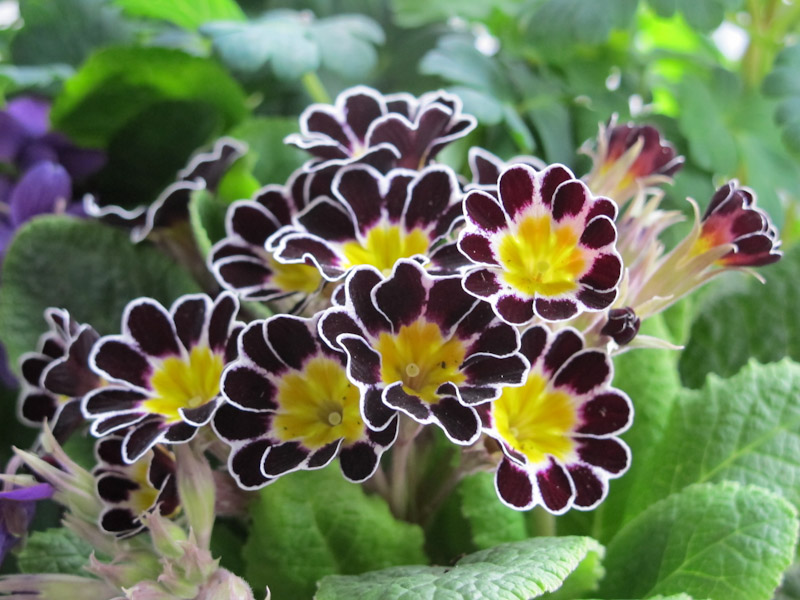 Primula LIttle Queen Mix-4