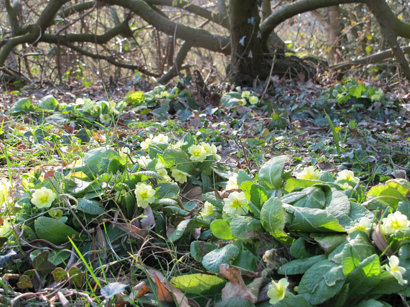 Primula vulgaris-16
