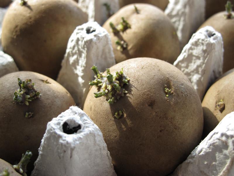 Solanum tuberosum forspiring-15