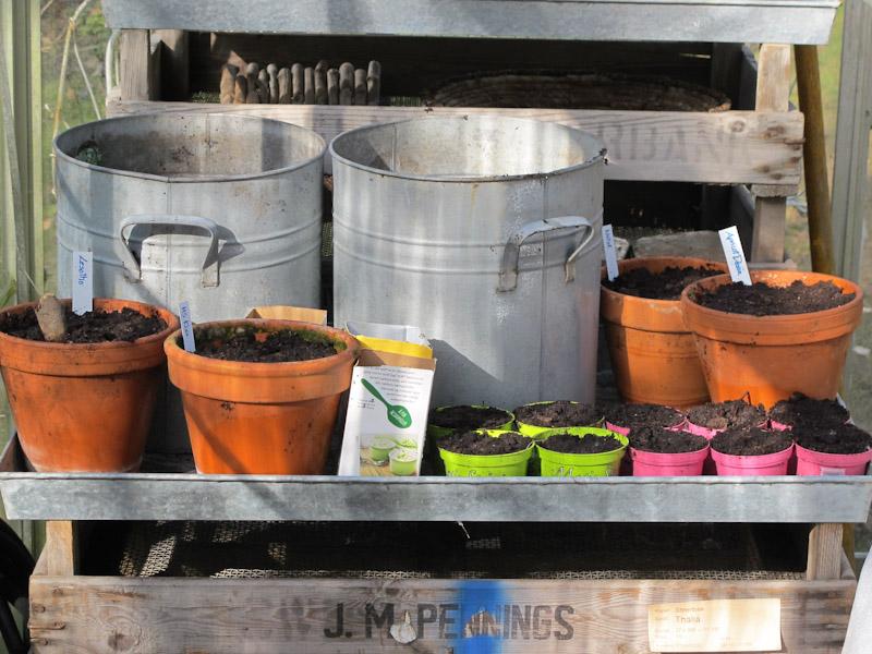 Solanum tuberosum forspiring-18