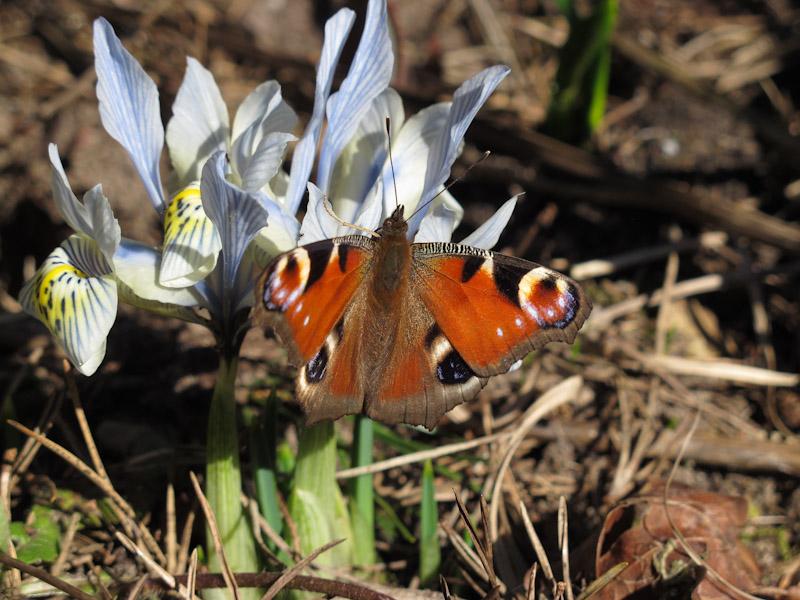 Sommerfugl i marts-1