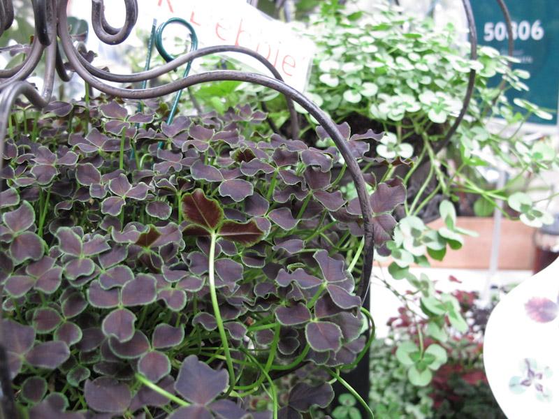Trifolium Dark Debbie-1
