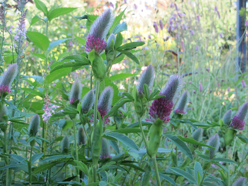 Trifolium rubens-1