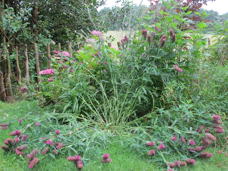 Trifolium rubens-7