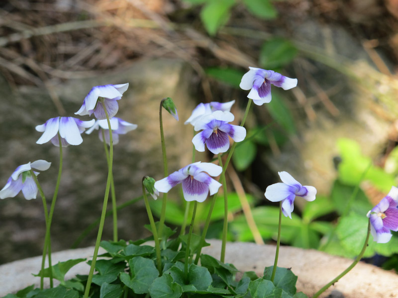 Viola hederacea-1