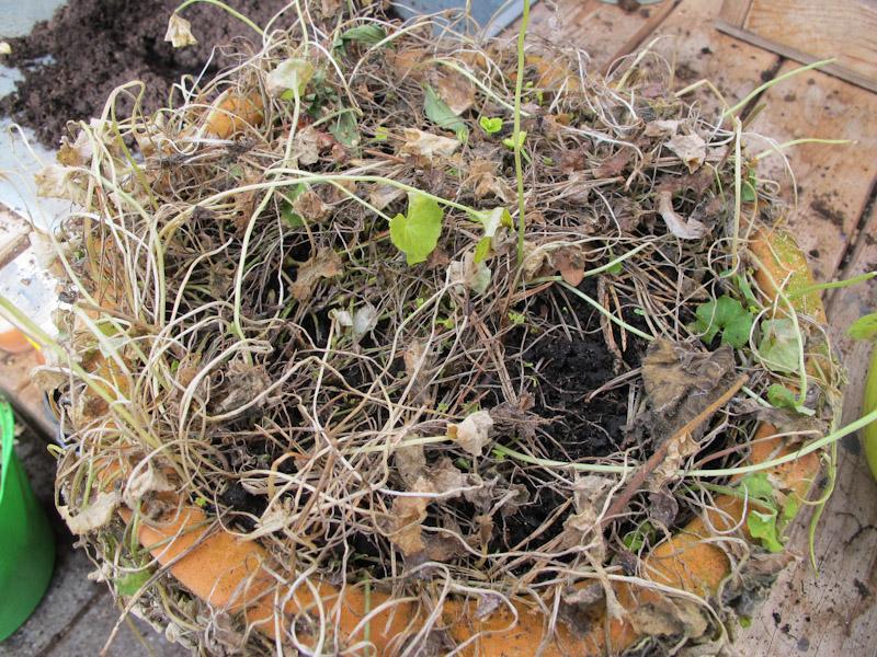 Viola hederacea-37