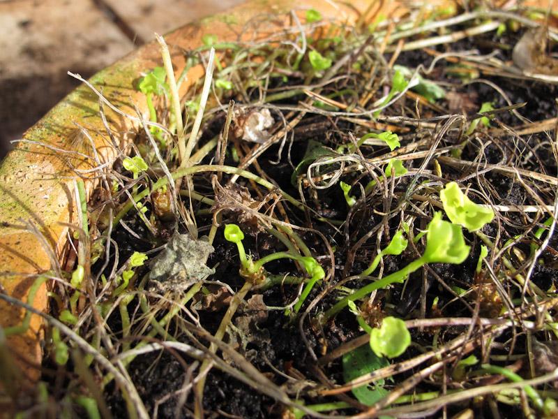 Viola hederacea-39
