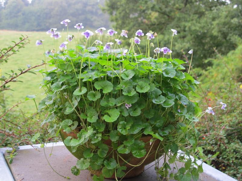 Viola hederacea-7