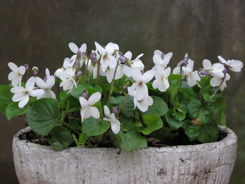 Viola odorata Miracle Bride White-5