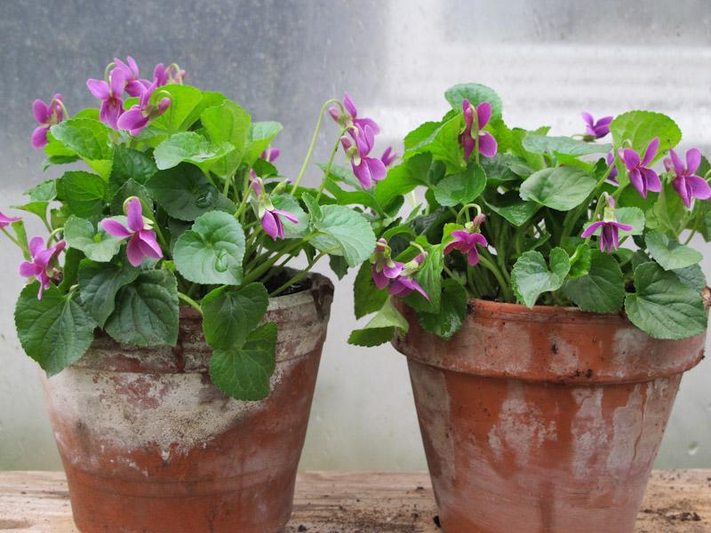 Viola odorata Miracle Classy Pink-5