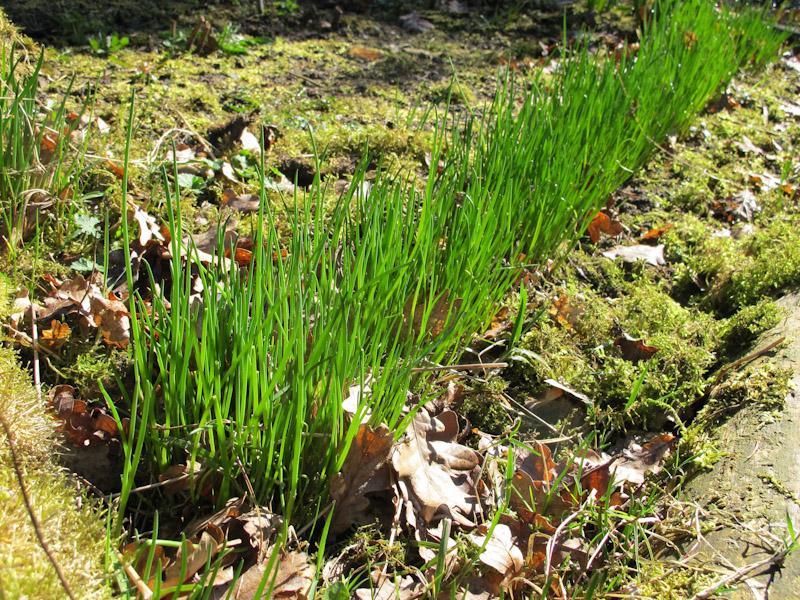 Allium Scoenoprasum-27